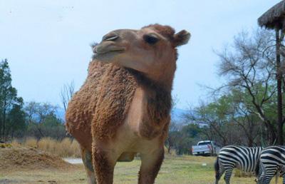 africam safari valsequillo puebla mexico camello2