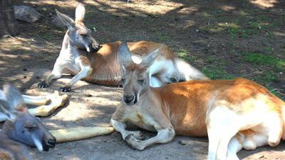 africam safari valsequillo puebla mexico canguro2