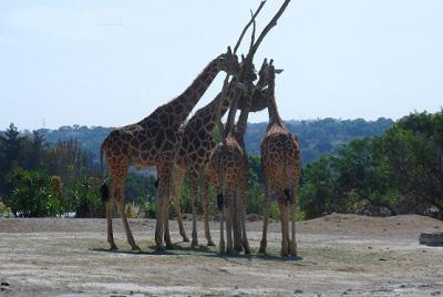 africam safari valsequillo puebla mexico jirafas pata de perro 8