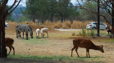 africam safari valsequillo puebla mexico pata de perro 8