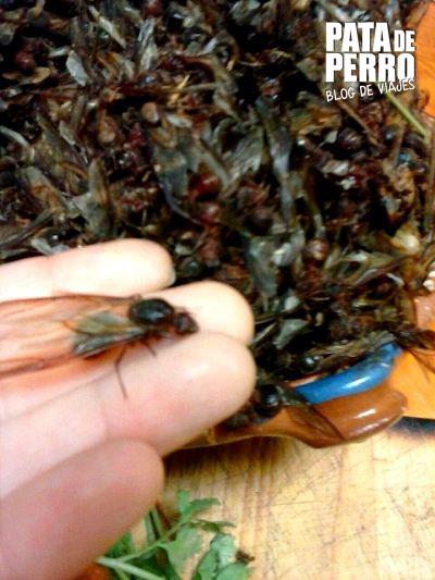 hormigas chicatanas pata de perro blog de viajes mexico4